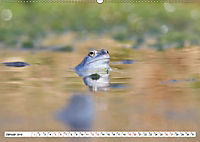 Das blaue Wunder - Moorfrösche in ihrem Habitat (Wandkalender 2019 DIN A2 quer) - Produktdetailbild 1