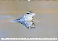 Das blaue Wunder - Moorfrösche in ihrem Habitat (Wandkalender 2019 DIN A2 quer) - Produktdetailbild 8