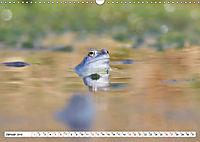 Das blaue Wunder - Moorfrösche in ihrem Habitat (Wandkalender 2019 DIN A3 quer) - Produktdetailbild 1