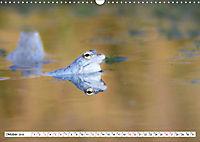 Das blaue Wunder - Moorfrösche in ihrem Habitat (Wandkalender 2019 DIN A3 quer) - Produktdetailbild 10
