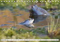 Das blaue Wunder - Moorfrösche in ihrem Habitat (Tischkalender 2019 DIN A5 quer) - Produktdetailbild 12