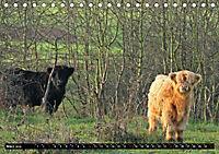 Das Schottische Hochlandrind (Tischkalender 2019 DIN A5 quer) - Produktdetailbild 3