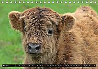 Das Schottische Hochlandrind (Tischkalender 2019 DIN A5 quer) - Produktdetailbild 5