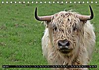 Das Schottische Hochlandrind (Tischkalender 2019 DIN A5 quer) - Produktdetailbild 7