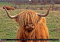 Das Schottische Hochlandrind (Wandkalender 2019 DIN A2 quer) - Produktdetailbild 1