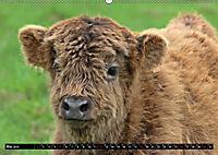 Das Schottische Hochlandrind (Wandkalender 2019 DIN A2 quer) - Produktdetailbild 5