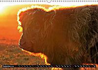 Das Schottische Hochlandrind (Wandkalender 2019 DIN A3 quer) - Produktdetailbild 9