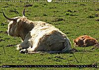 Das Schottische Hochlandrind (Wandkalender 2019 DIN A3 quer) - Produktdetailbild 4