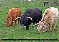 Das Schottische Hochlandrind (Wandkalender 2019 DIN A3 quer) - Produktdetailbild 6