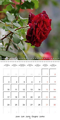 Delicate Beauties - Magnificent Roses (Wall Calendar 2019 300 × 300 mm Square) - Produktdetailbild 6