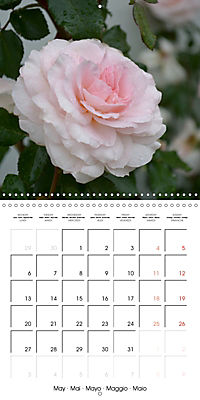 Delicate Beauties - Magnificent Roses (Wall Calendar 2019 300 × 300 mm Square) - Produktdetailbild 5