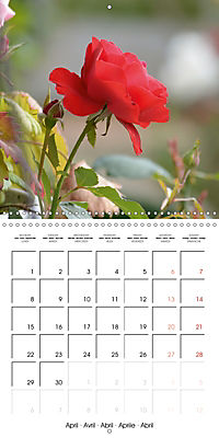 Delicate Beauties - Magnificent Roses (Wall Calendar 2019 300 × 300 mm Square) - Produktdetailbild 4