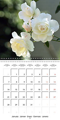 Delicate Beauties - Magnificent Roses (Wall Calendar 2019 300 × 300 mm Square) - Produktdetailbild 1