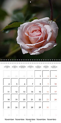 Delicate Beauties - Magnificent Roses (Wall Calendar 2019 300 × 300 mm Square) - Produktdetailbild 11