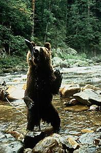 Der Bär ist los!, DVD - Produktdetailbild 7