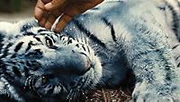 Der blaue Tiger - Produktdetailbild 8