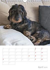 Der Dackel (M)ein treuer Weggefährte (Wandkalender 2019 DIN A4 hoch) - Produktdetailbild 4
