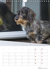 Der Dackel (M)ein treuer Weggefährte (Wandkalender 2019 DIN A4 hoch) - Produktdetailbild 3
