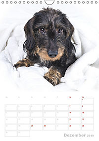 Der Dackel (M)ein treuer Weggefährte (Wandkalender 2019 DIN A4 hoch) - Produktdetailbild 12