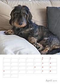 Der Dackel (M)ein treuer Weggefährte (Wandkalender 2019 DIN A2 hoch) - Produktdetailbild 4