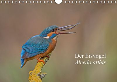 Der Eisvogel - Alcedo atthis (Wandkalender 2019 DIN A4 quer), Wiking Dürre