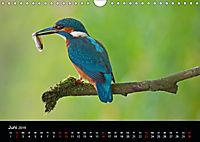 Der Eisvogel...fliegendes Juwel (Wandkalender 2019 DIN A4 quer) - Produktdetailbild 6