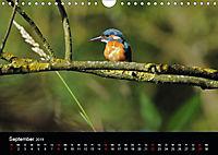 Der Eisvogel...fliegendes Juwel (Wandkalender 2019 DIN A4 quer) - Produktdetailbild 9