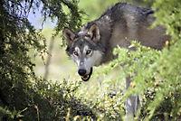 Der Junge und der Wolf - Produktdetailbild 2