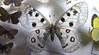 Der Schmetterlingsjäger - 37 Karteikarten zu Nabokov - Produktdetailbild 1
