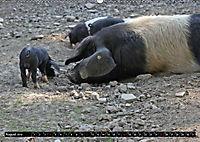 Der Schweinekalender (Wandkalender 2019 DIN A2 quer) - Produktdetailbild 8