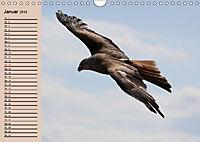 Der Steinadler. Majestätischer Greifvogel (Wandkalender 2019 DIN A4 quer) - Produktdetailbild 1