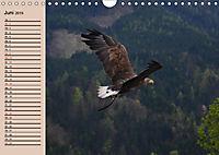 Der Steinadler. Majestätischer Greifvogel (Wandkalender 2019 DIN A4 quer) - Produktdetailbild 6