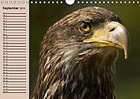 Der Steinadler. Majestätischer Greifvogel (Wandkalender 2019 DIN A4 quer) - Produktdetailbild 9