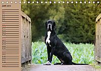 Deutsche Doggen - Sanfte Riesen (Tischkalender 2019 DIN A5 quer) - Produktdetailbild 6
