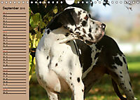 Deutsche Doggen - Sanfte Riesen (Wandkalender 2019 DIN A4 quer) - Produktdetailbild 9