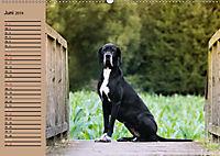 Deutsche Doggen - Sanfte Riesen (Wandkalender 2019 DIN A2 quer) - Produktdetailbild 6