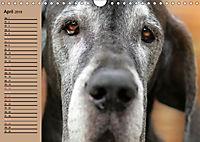 Deutsche Doggen - Sanfte Riesen (Wandkalender 2019 DIN A4 quer) - Produktdetailbild 4