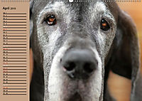 Deutsche Doggen - Sanfte Riesen (Wandkalender 2019 DIN A2 quer) - Produktdetailbild 4