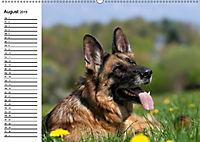 Deutsche Schäferhunde - Liebenswerte Graunasen (Wandkalender 2019 DIN A2 quer) - Produktdetailbild 3