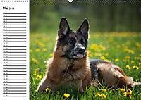 Deutsche Schäferhunde - Liebenswerte Graunasen (Wandkalender 2019 DIN A2 quer) - Produktdetailbild 5