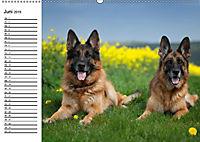 Deutsche Schäferhunde - Liebenswerte Graunasen (Wandkalender 2019 DIN A2 quer) - Produktdetailbild 9
