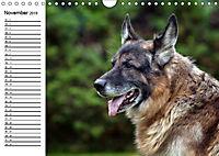 Deutsche Schäferhunde - Liebenswerte Graunasen (Wandkalender 2019 DIN A4 quer) - Produktdetailbild 1