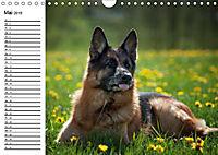Deutsche Schäferhunde - Liebenswerte Graunasen (Wandkalender 2019 DIN A4 quer) - Produktdetailbild 11