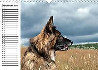 Deutsche Schäferhunde - Liebenswerte Graunasen (Wandkalender 2019 DIN A4 quer) - Produktdetailbild 12