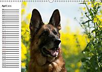 Deutsche Schäferhunde - Liebenswerte Graunasen (Wandkalender 2019 DIN A3 quer) - Produktdetailbild 4