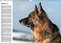 Deutsche Schäferhunde - Liebenswerte Graunasen (Wandkalender 2019 DIN A3 quer) - Produktdetailbild 1