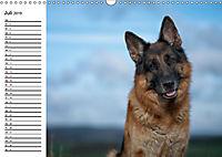 Deutsche Schäferhunde - Liebenswerte Graunasen (Wandkalender 2019 DIN A3 quer) - Produktdetailbild 7