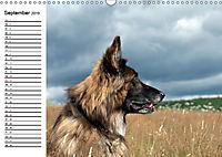 Deutsche Schäferhunde - Liebenswerte Graunasen (Wandkalender 2019 DIN A3 quer) - Produktdetailbild 9