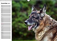 Deutsche Schäferhunde - Liebenswerte Graunasen (Wandkalender 2019 DIN A3 quer) - Produktdetailbild 11