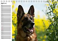 Deutsche Schäferhunde - Liebenswerte Graunasen (Tischkalender 2019 DIN A5 quer) - Produktdetailbild 4